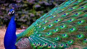 عکس/ به دام انداختن طاووس سرگردان در تهران