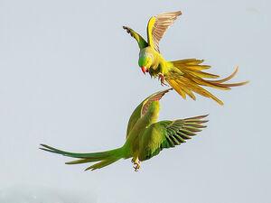 عکس/ درگیری دو طوطی در آسمان