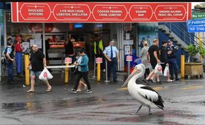 قدم زدن یک پلیکان در مقابل مرکز فروش ماهی در شهر سیدنی استرالیا