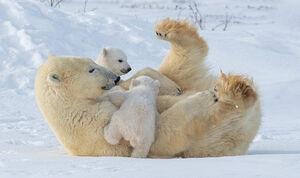 عکس/ بازیگوشی تولههای خرس قطبی