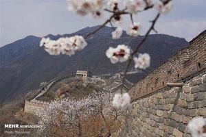 عکس/ نسیم بهاری در دیوار چین