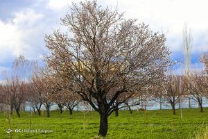 عکس/ سرمازدگی باغات تبریز