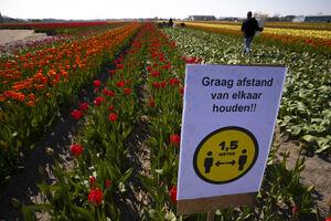 عکس/ نابودی لالههای هلندی
