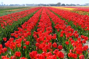 فیلم/ کرونا گلهای هلندی را پَرپَر کرد