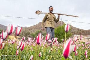 جلوه های زیبای لالههای وحشی در یزد