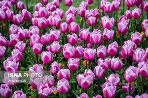 عکس/ جشنواره گلهای لاله در اراک
