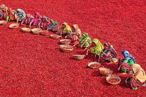 تصاویر دیدنی از خشک کردن فلفل قرمز