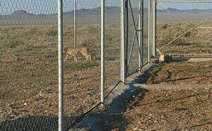 عکس/ زیستگاه جدید یوزپلنگهای ایرانی