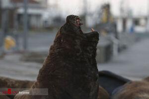 عکس/ شیرهای دریایی در خیابانهای آرژانتین