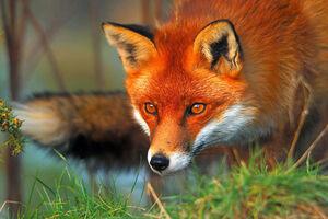عکس/ خمیازه روباه