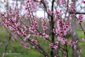 عکس/ شکوفههای بهاری ابهر