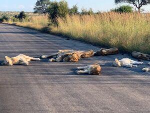 عکس/ گله شیرها خیابان را بستند