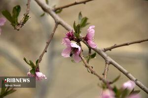 شکوفههای بهاری سمنان