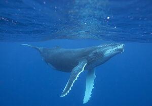 فیلم/ نجات نهنگ گرفتار