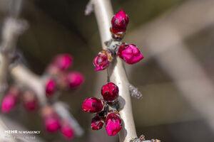 عکس/ شکوفههای زیبای ارژن