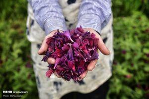 قطب کشت و پرورش گیاه گل گاوزبان