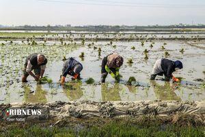 فصل نشا کاری برنج در بابلسر