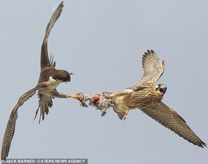 عکس/ درگیری دو شاهین بر سر یک کبوتر