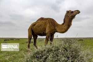 عکس/ شتربانی بهار در دشتهای ترکمن صحرا