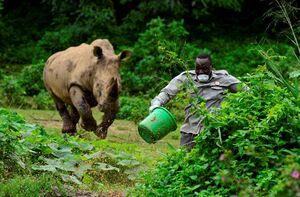 فرار کارگر یک مرکز حفاظت از حیات وحش در اوگاندا از مقابل یک کرگدن خشمگین