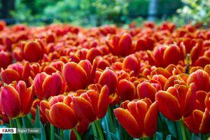 عکس/ لالههای باغ ایرانی