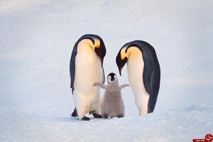 آیا پنگوئنها هم عاشق میشوند؟