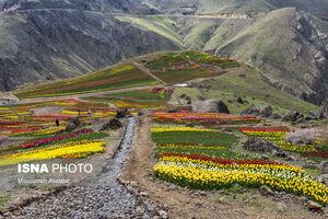 اولین دشت وسیع گل لاله کشور
