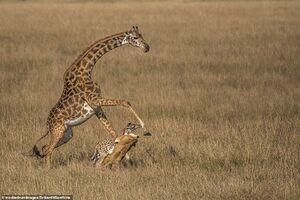 عکس/ شکار بچه زرافه جلوی چشم مادرش