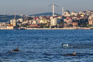 شنای آرام دلفین ها در تنگه بوسفور استانبول(ترکیه) در دوران کرونا