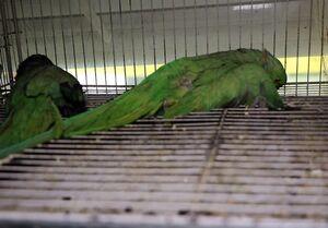 مرگ غمبار صدها قطعه پرنده زینتی در آتشسوزی +عکس