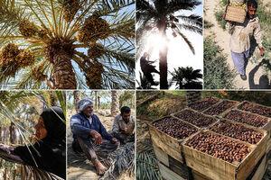 فرصت رمضان برای صادرات خرما هدر رفت