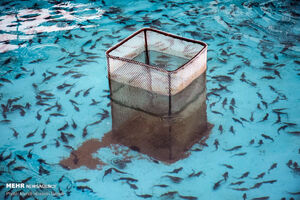 عکس/ مزرعه پرورش ماهیان خاویاری