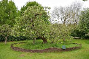 درخت سیب نیوتن کجاست؟