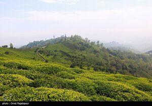 عکس/ برداشت چای بهاره از باغات املش
