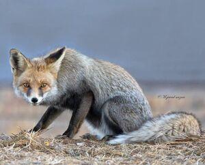 روباه و هاله نور +عکس