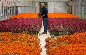 خسارت کرونا به گل فروشان