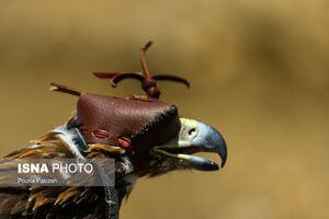 عکس/ رهاسازی پرندگان شکاری در همدان
