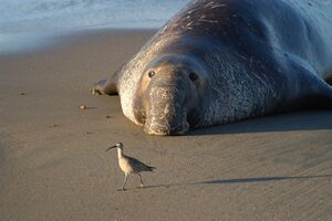 فیلم/ رهاسازی فیل دریایی در طبیعت