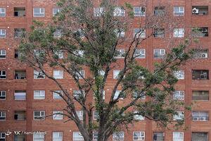 عکس/ درختان قربانی توسعه شهری