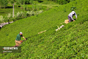 عکس/ عطر بهار با طعم چای