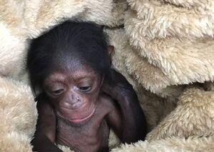 تشکیل پرونده برای شامپانزه ۳ ساله در دادگاه +عکس