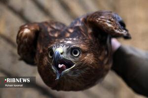 رها سازی ١٠ قطعه پرنده شکاری در قم