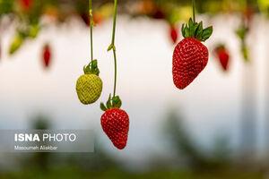 عکس/ قطب اول تولید توت فرنگی گلخانهای
