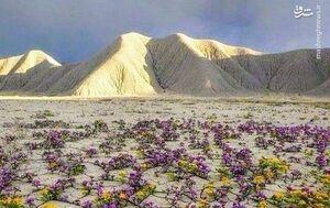 عکس/ صحرای پر گل شیلی