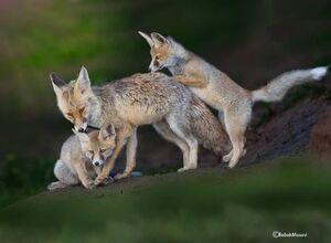 بازی بچه روباه ها با مادرشان در سبزوار +عکس