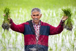 عکس/ آغاز نشاکاری در قطب تولید برنج ایران