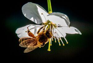 عکس/ نمای نزدیک از زنبورعسل