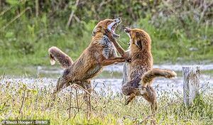 عکس/ تنش میان روباهها