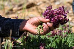 عکس/ چیدن گیاهان دارویی در ارتفاعات
