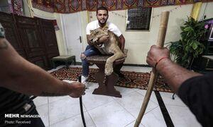 عکس/ آموزش شیر سیرک در خانه
